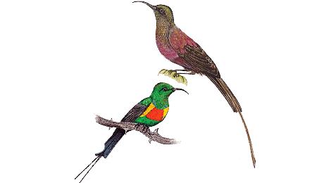Sunbirds illustrated